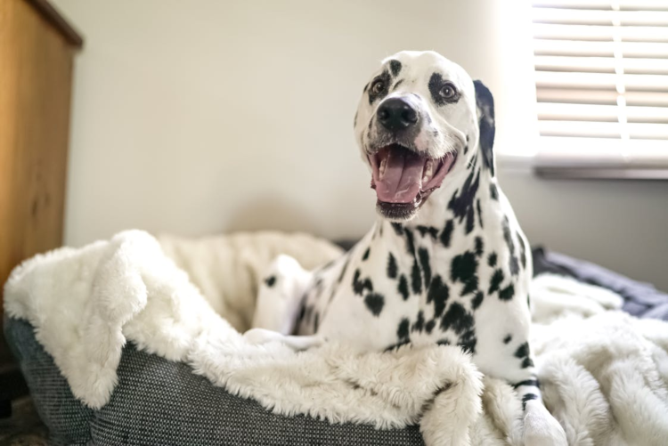 dalmatian on bed in apartment, happy dog